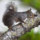 Beautiful squirrel in tree missing one paw. This sweet squirrel has adapted so well for missing one of his paws. He loves to climb and steals the birdseed out of royalty free stock photography