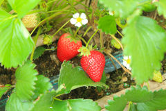 Sweet strawberry in the garden Stock Photo