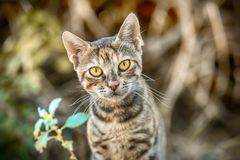 Sweet Striped Kitten With Beautiful Yellow Eyes In Summer Garden Royalty Free Stock Photography