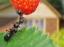 Sweet summer of ants, strawberry and bungalow. Kissing garden ants and summerhouse at background Royalty Free Stock Photos