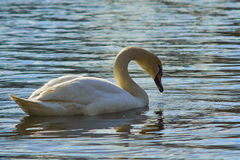 Sweet swan, symbols of love Royalty Free Stock Photography