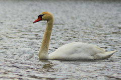 Sweet swan, symbols of love Royalty Free Stock Photo