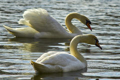 Sweet swan, symbols of love Royalty Free Stock Photos
