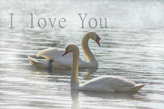 Sweet swans, symbols of love. Stock Images