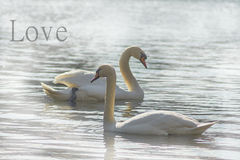 Sweet swans, symbols of love. Royalty Free Stock Photography