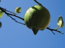 Sweet Sweet Lime Stock Photos