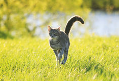 Sweet tabby cat fun running on green meadow in Sunny summer day Royalty Free Stock Photo