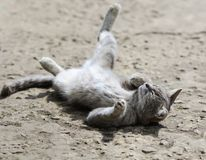 Sweet tabby cat playfully lying and enjoying the sun funny legs Stock Image