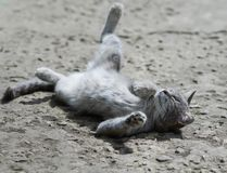 Sweet tabby cat playfully lying and enjoying the sun funny legs Royalty Free Stock Photos