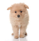 Sweet Tan Colored Pomeranian Puppy on White Royalty Free Stock Photography