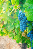 Sweet and tasty blue grape bunch Stock Images