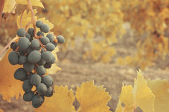 Sweet and tasty blue grape bunch Royalty Free Stock Photography