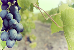 Sweet and tasty blue grape bunch Royalty Free Stock Photo