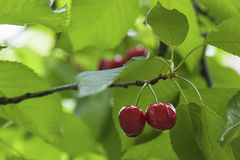 Sweet tasty cherries hanging in a cherry tree. Horizontal shot of two fresh cherries  hanging on a cherry tree brunch at orchard Royalty Free Stock Photos