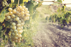 Sweet and tasty white grape bunch Stock Images