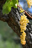 Sweet and tasty white grape bunch on the vine, tuscany. Stock Images