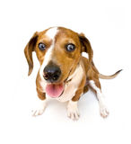 Sweet teckel. Sweet smiling Dachshund ( teckel ) dog sitting on a white background Royalty Free Stock Image