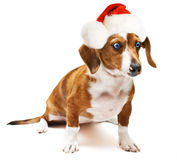 Sweet teckel. Sweet Dachshund ( teckel ) dog sitting on a white background with a santa hat Stock Images