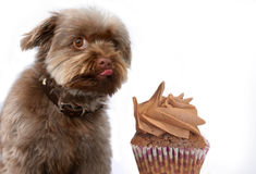 Sweet temptation, dog eats forbidden food Royalty Free Stock Images