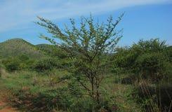Sweet thorn, Acacia karroo Stock Images