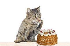 Sweet Tooth. Studio shot over white of a cat licking his paw after helping himself to the cream off of the top of a cream gateau Royalty Free Stock Photos