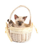 Sweet tortie point Siamee kitten in an off white basket Stock Image
