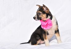 Sweet two month old puppy with rose Stock Photo
