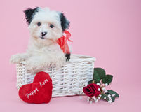 Sweet Valentine's Day Puppy. Little black and white Valentine's Day puppy with a heart that reads puppy love, on a pink background Stock Images