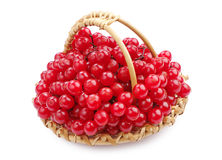 Sweet viburnum berry Stock Images