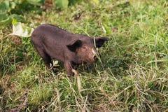 Sweet Vietnamese Piglet royalty free stock photos