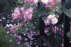 Roses and a Forged Fence in a Garden royalty free stock images