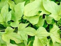 Sweet vine. Sweet potato vine close up lush greenery stock images