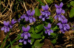 Sweet violet on the spring meadow royalty free stock image