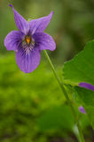 Sweet Violet. Known as Sweet Violet, English Violet, Common Violet, or Garden Violet (Viola odorata) is not native to Oregon but was introduced from Europe and Stock Images
