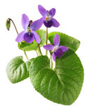 Sweet violet, viola odorata. Isolated on white background Royalty Free Stock Photo