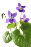 Sweet violet, viola odorata Royalty Free Stock Images