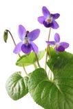 Sweet violet, viola odorata Royalty Free Stock Images