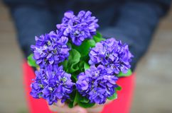 Sweet violets bouquet Royalty Free Stock Photography