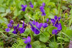 Sweet Violets Royalty Free Stock Photography