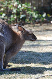 Sweet Wallaby Profile View Stock Images