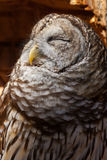 Sweet Warm Sun. A Barred Owl enjoys the sunlight pouring into the tree dugout Stock Photos