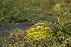 Sweet Watermelon on Field. Ripe watermelon on field at dusk Royalty Free Stock Images