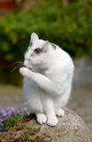 Sweet white cat Royalty Free Stock Photos