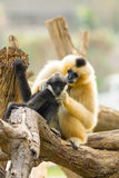The sweet white-cheek gibbon mum Stock Image