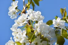 Sweet white flowers blooming cherry-tree, cherries in the spring Royalty Free Stock Photos