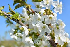 Sweet white flowers blooming cherry-tree, cherries in the spring Royalty Free Stock Images