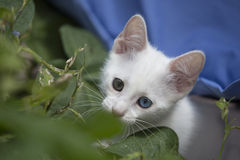 Sweet white kitten. Closeup of a white kitten with different colored eyes, playing in the garden Stock Images