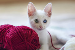 Sweet white kitten. White kitten with different colored eyes, with a red skein of wool on light background Royalty Free Stock Images