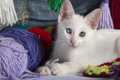 Sweet white kitten. White kitten with different colored eyes, between skeins of wool, looking at camera Stock Image