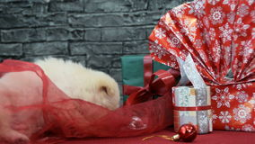 Sweet white puppy in holiday spirit surrounded by New Year`s decoration stock video footage